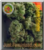 Dispensario Double Cheese 10 Female Weed Seeds